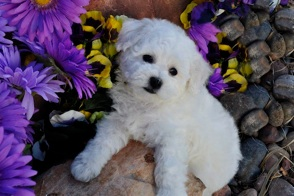 BelAmour Bichons Frise Puppies Nevada